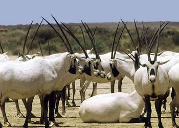 Arabian Oryx Texas