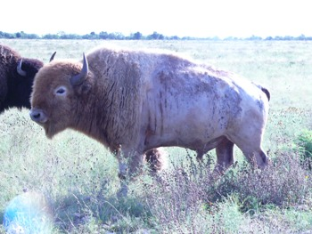White Buffalo Hunt